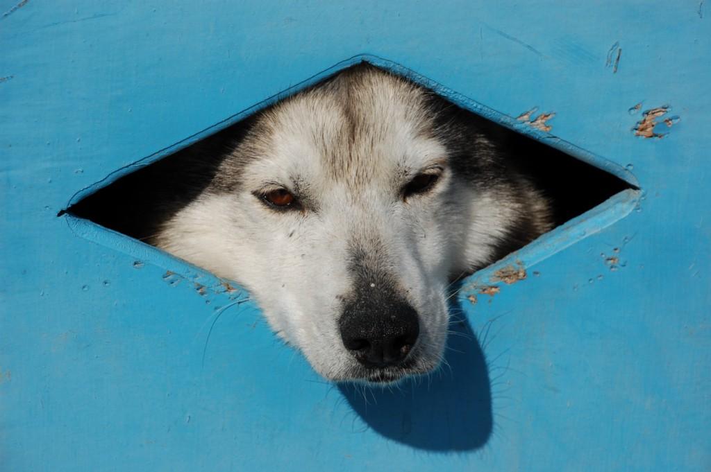 Husky in a box
