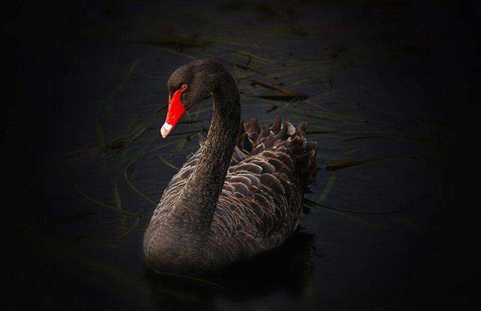 At Black Swan